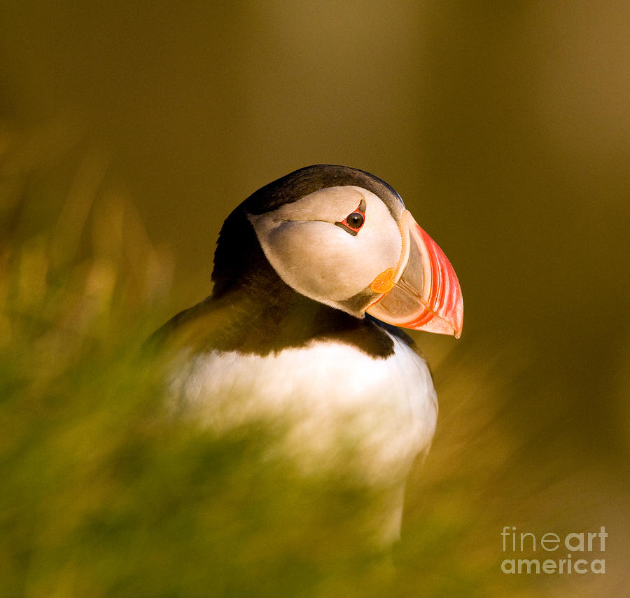 Puffin Portrait Photograph by Wayne Bennett