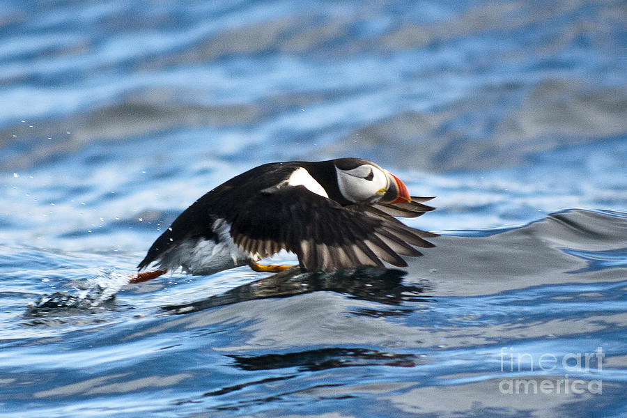 Puffin Photograph - Puffin Starting To Fly by Heiko Koehrer-Wagner