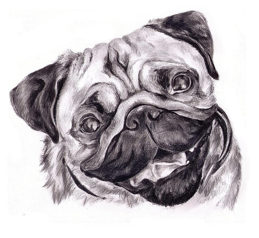 Dogs Drawing - Pug by Cassandra Gallant