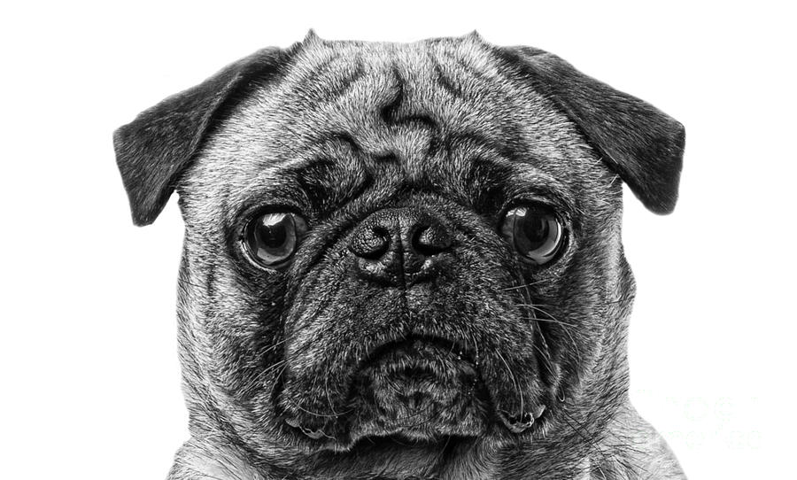 Animal Photograph - Pug Dog Black And White by Edward Fielding