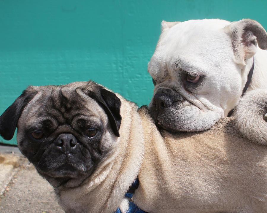 Dog Photograph - Pug Love by DerekTXFactor Creative