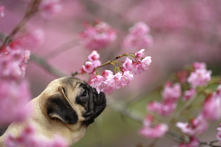 Pug With Sakura Photograph by All Photos Taken By Donfer Lu