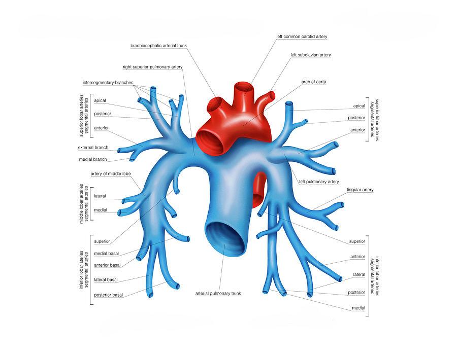 Pulmonary Arteries Photograph by Asklepios Medical Atlas