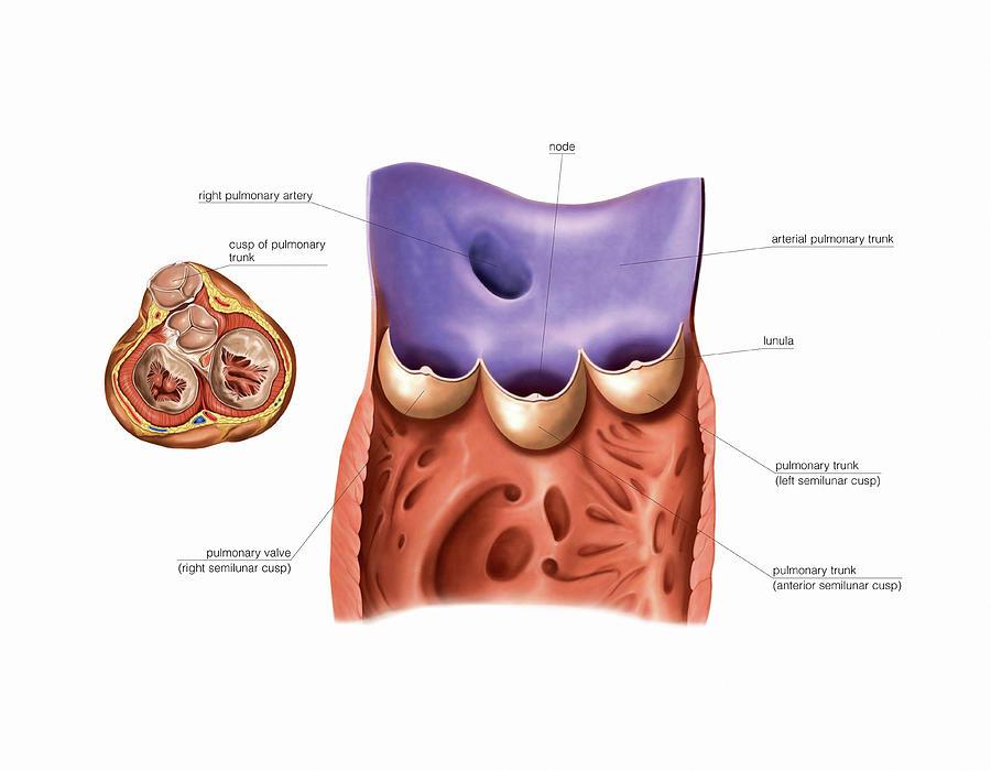 Pulmonary Trunk Valves Photograph by Asklepios Medical Atlas