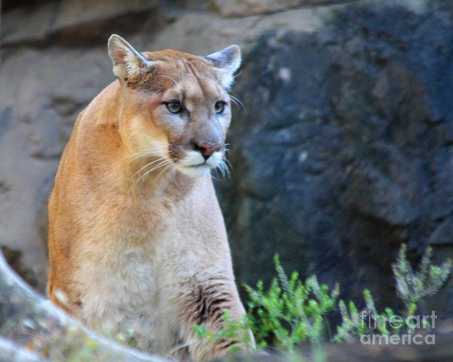 Telfer Photograph - Puma On The Watch by John Telfer