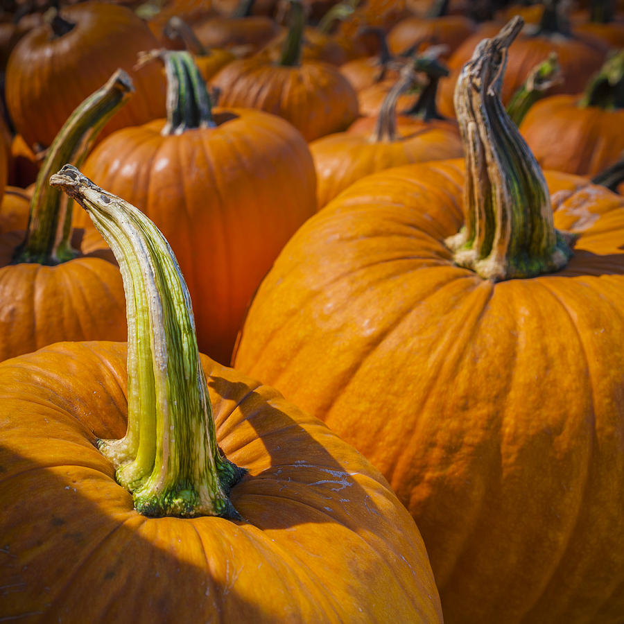 Pumpkin Patch  by Scott Campbell