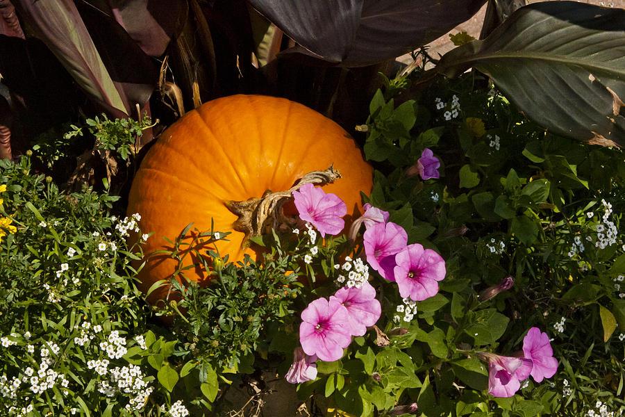 Flower Photograph - Pumpkin With Purple Flowers by Dennis Coates