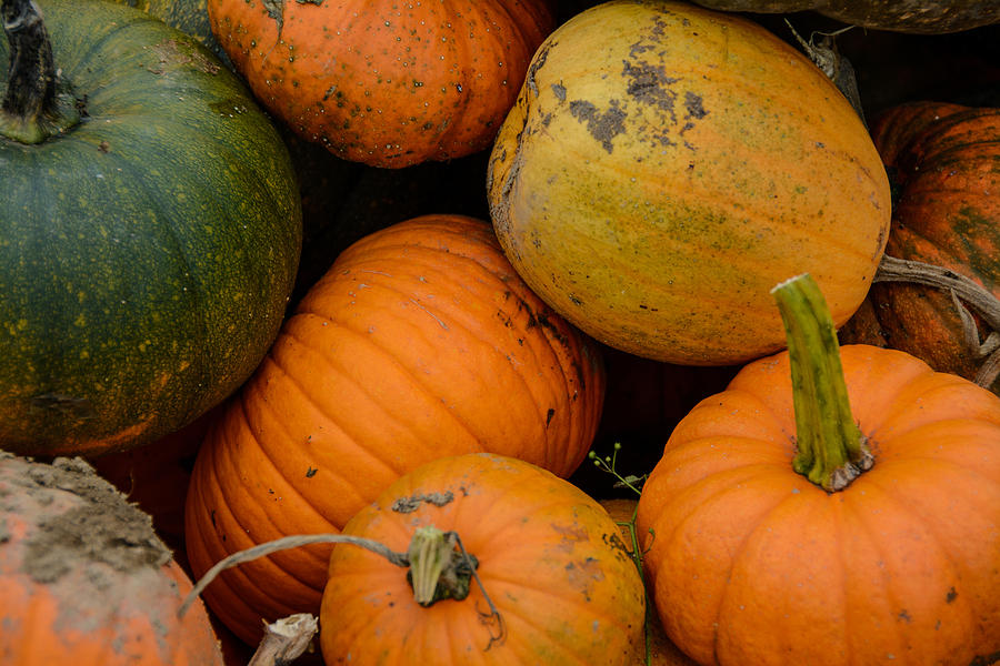 Pumpkins Fresh from the Field by At Lands End Photography