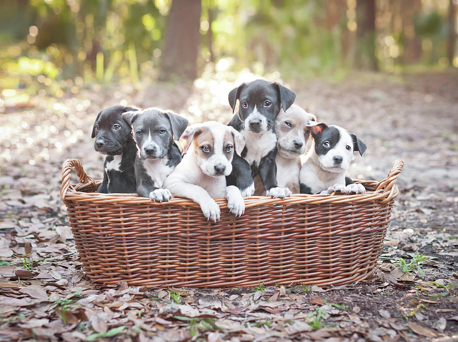 Puppies In Wooden Basket Photograph by Hillary Kladke