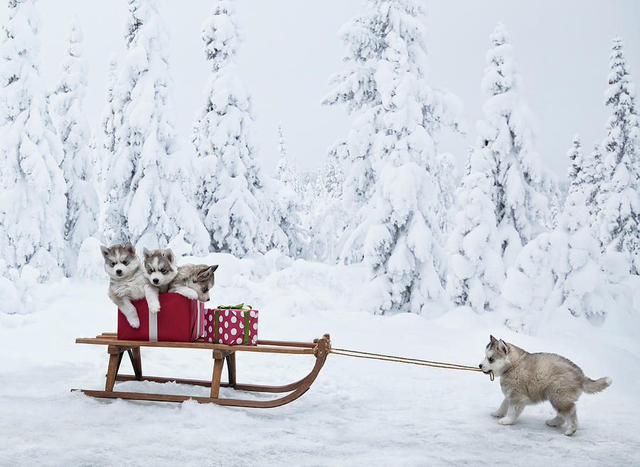Puppies With A Sled Full Of Christmas Photograph by Per Breiehagen