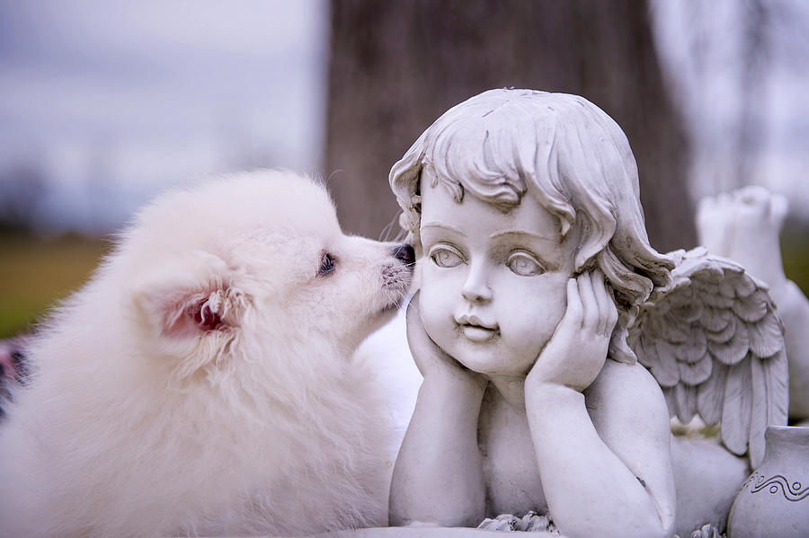 American Eskimo Puppy Photograph - Puppy And Angel  by Bonnie Barry