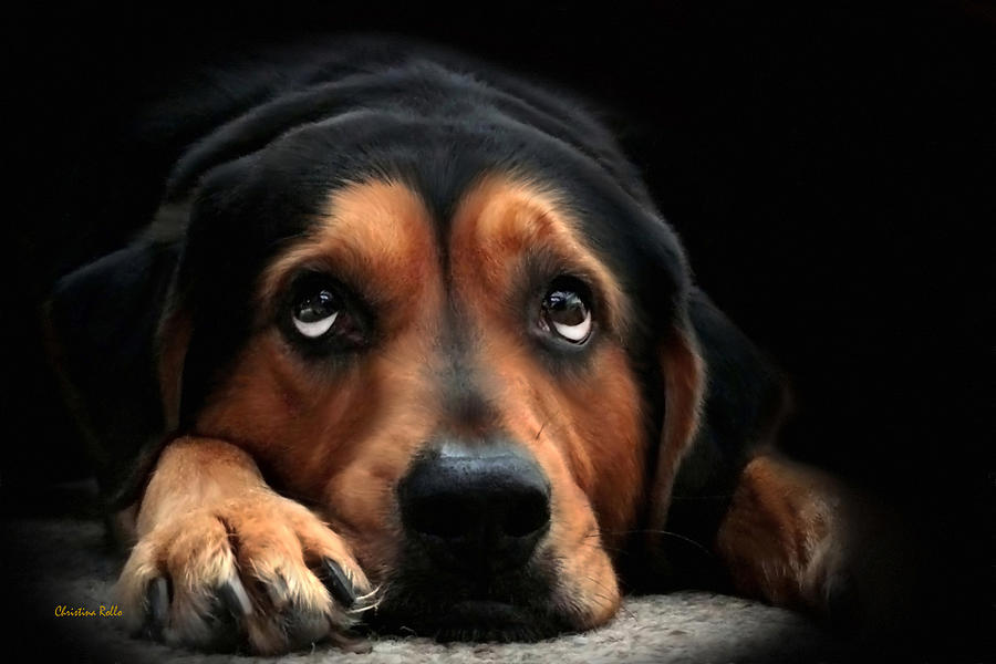 Puppy Dog Mixed Media - Puppy Dog Eyes by Christina Rollo