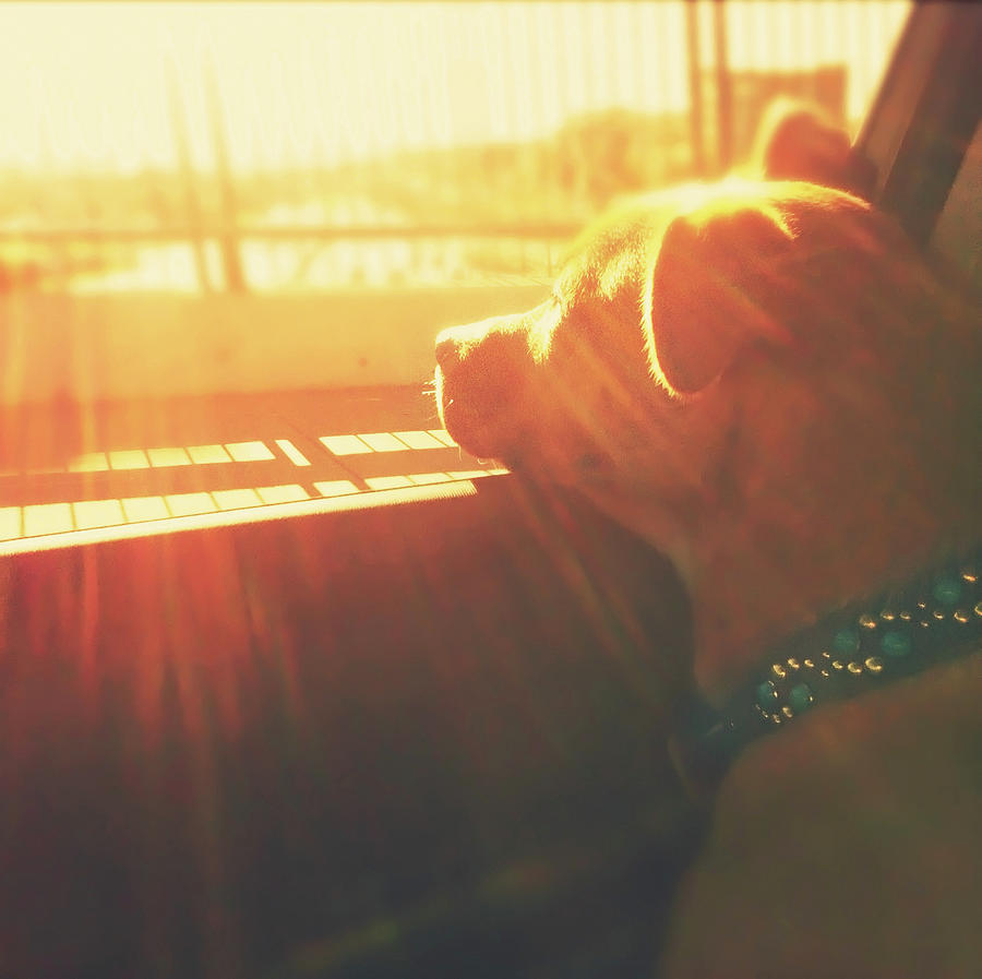 Puppy Dog In Car Head Out Window Sunset Photograph by Nicole Kucera