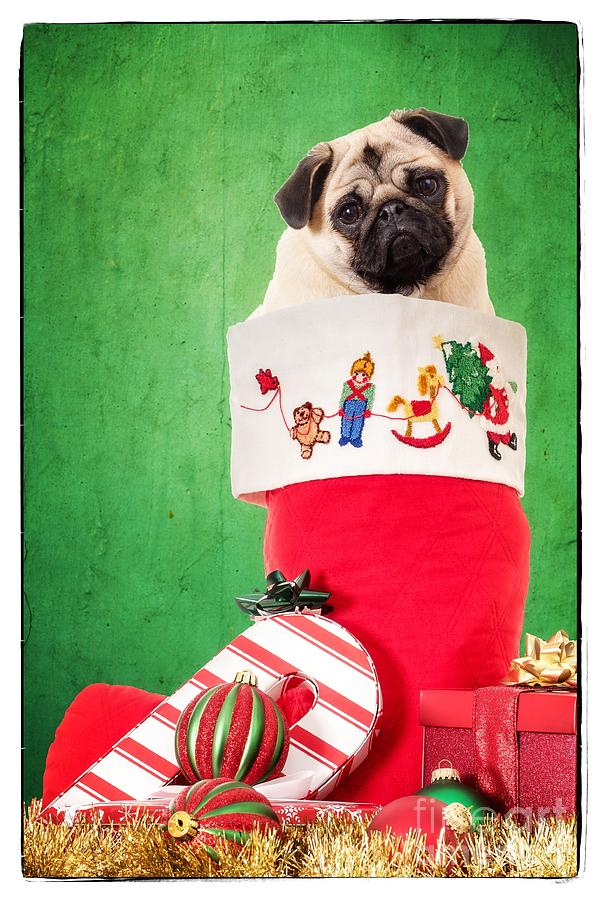 Stocking Photograph - Puppy For Christmas by Edward Fielding