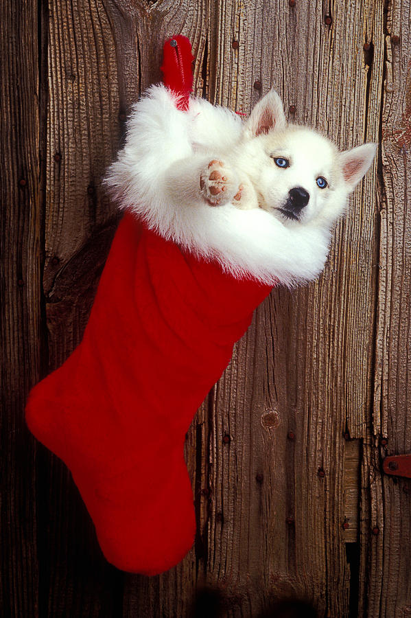 Puppy Photograph - Puppy In Christmas Stocking by Garry Gay