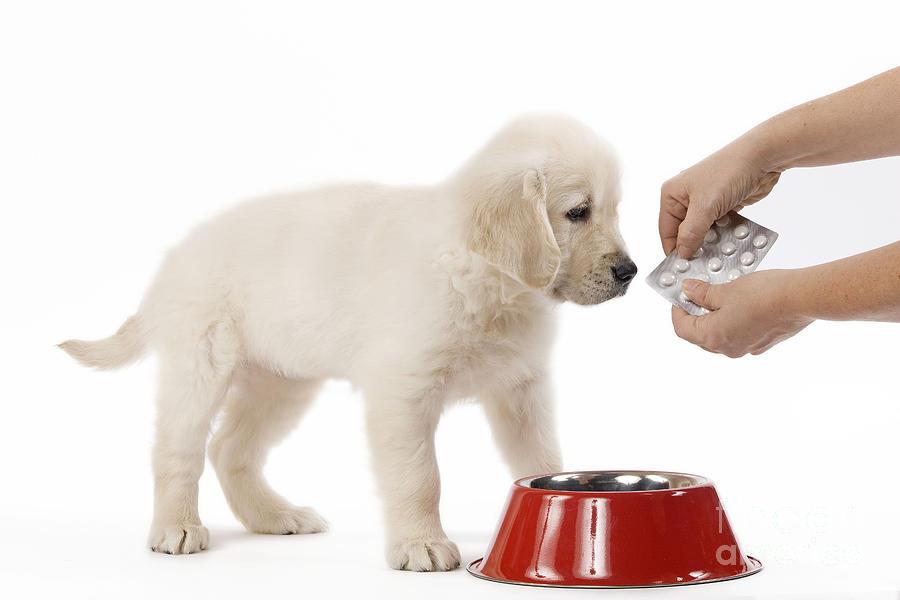 Golden Retriever Photograph - Puppy Receiving Medicine by Jean-Michel Labat