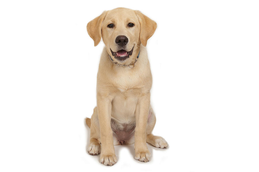 Puppy: Yellow Labrador! Photograph by @Hans Surfer