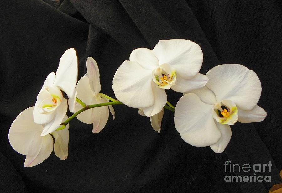 Orchid Photograph - Pure And Simple by Carolyn Bistline