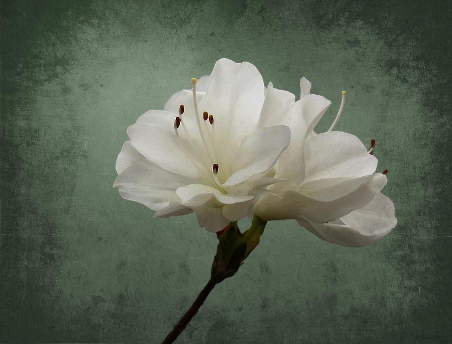Azalea Photograph - Pure by Deborah Smith