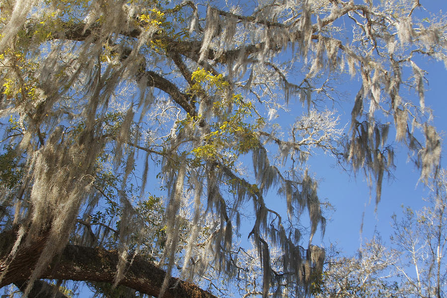 Spanish Photograph - Pure Florida - Spanish Moss by Christine Till
