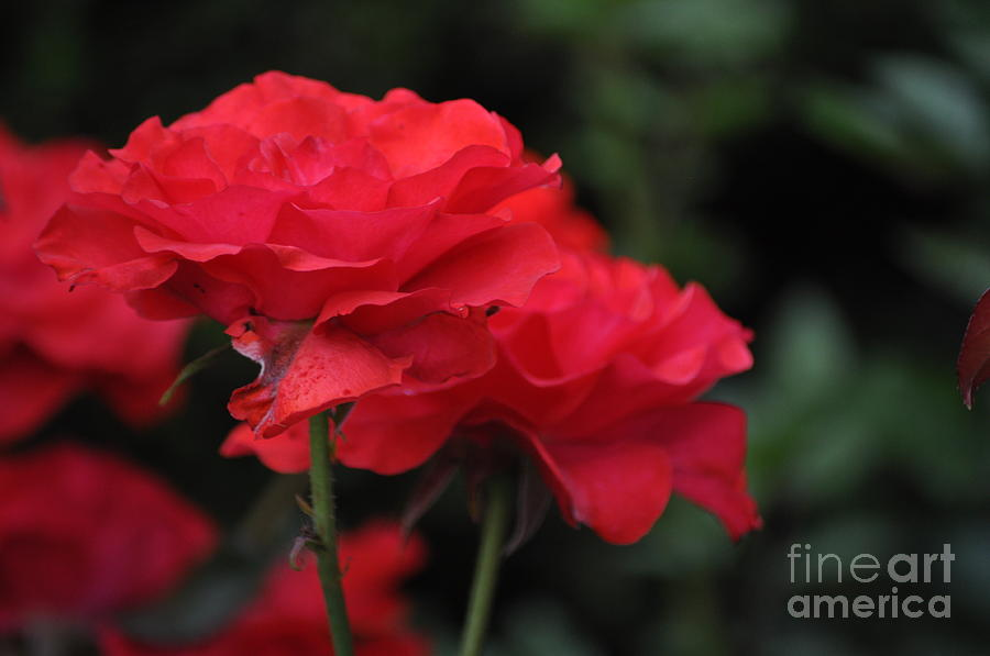 Red Roses Photograph - Pure Love by Nona Kumah