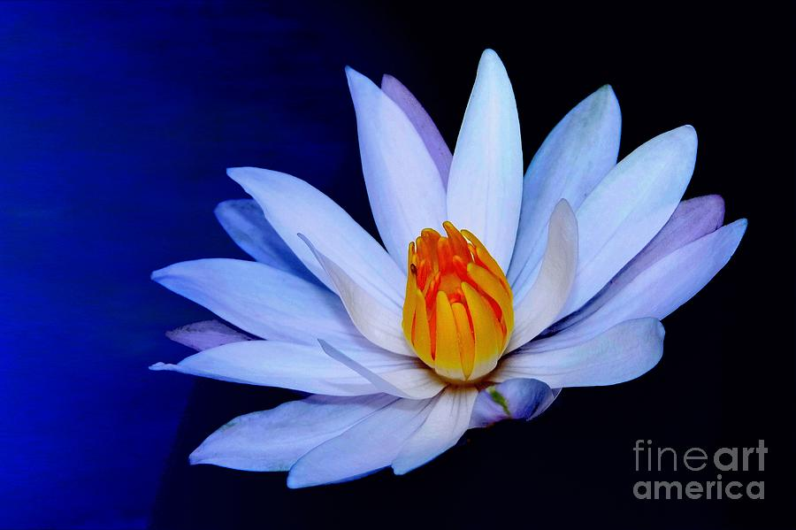 Flower Photograph - Pure White On Blue by Maurisca Sardju
