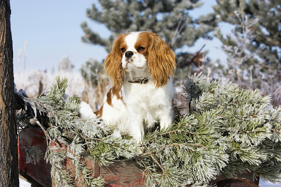 Canine Photograph - Purebred Cavalier King Charles Spaniel by Piperanne Worcester