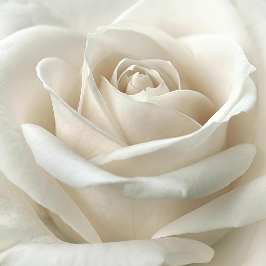 Floral Photograph - Purity by Darlene Kwiatkowski