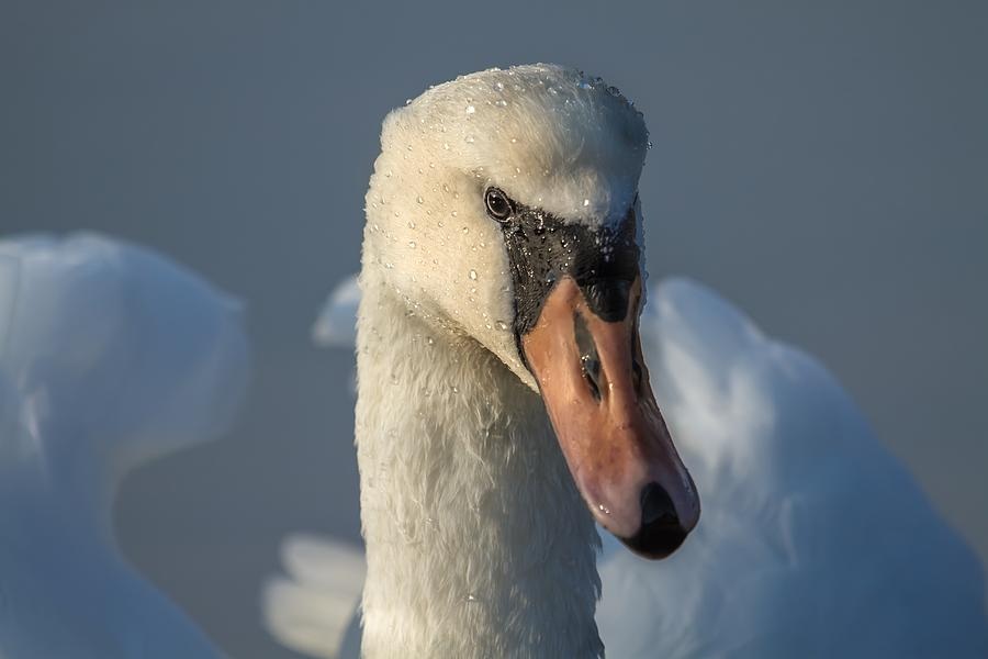 Swans Photograph - Purity In The Eyes by Rose-Maries Pictures