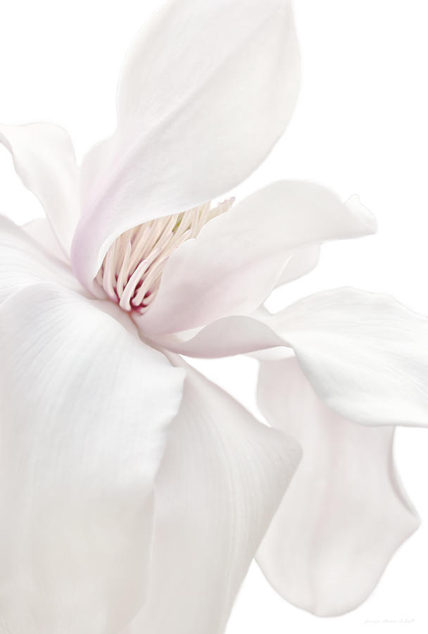 Purity White Magnolia Flower Blossom Photograph