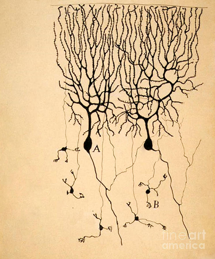 Purkinje Cells Photograph - Purkinje Cells by Cajal 1899 by Science Source
