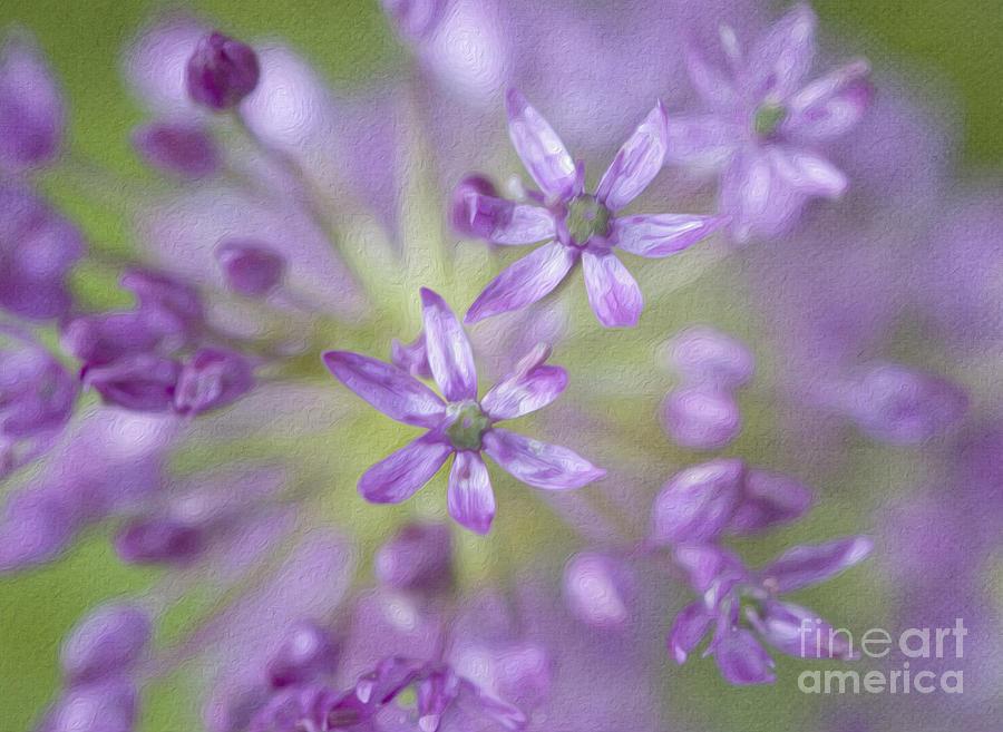 Allium Photograph - Purple Allium Flower by Juli Scalzi