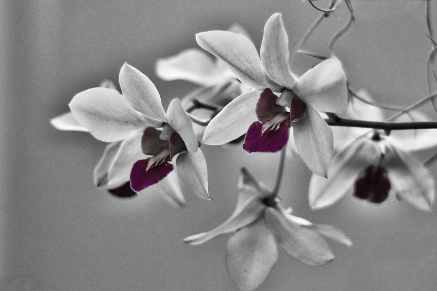 purple and pale green orchids black and white photograph by stuart