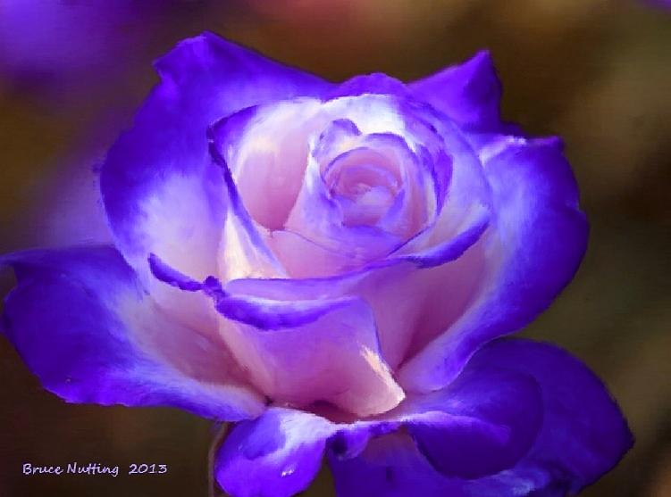 Purple Painting - Purple And Pink Rose by Bruce Nutting