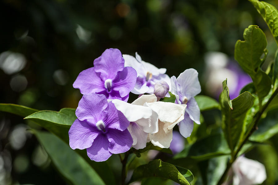 Purple And White Flowering Bush Photograph By Craig Lapsley