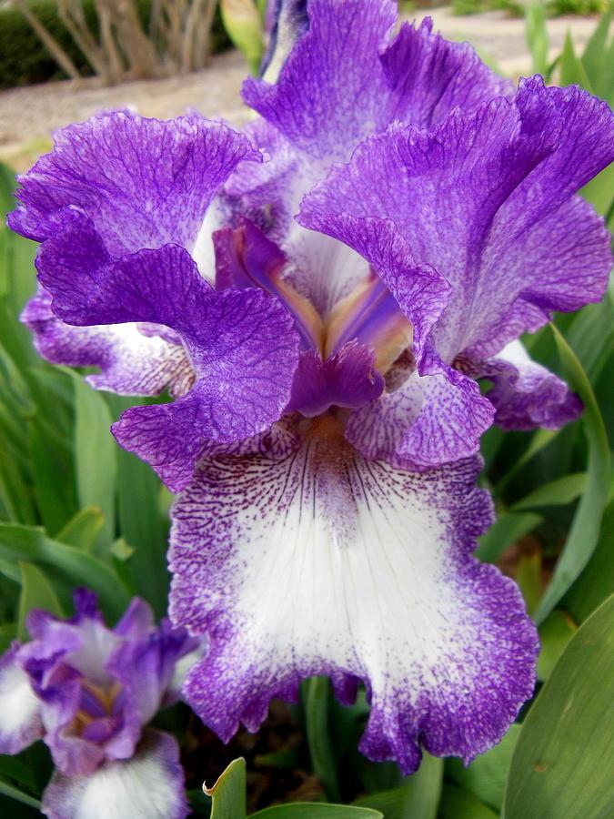 Iris Photograph - Purple And White Iris by Virginia Forbes