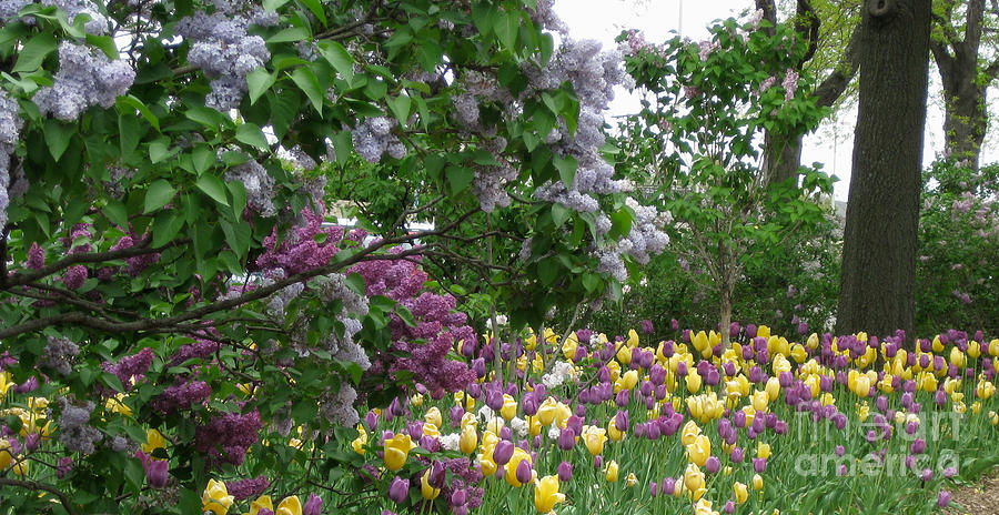 Tulips Photograph - Purple and Yellow Tulips Landscape by Anne Nordhaus-Bike