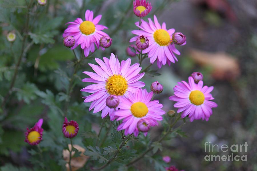 Purple Photograph - Purple Asters by Lena Auxier