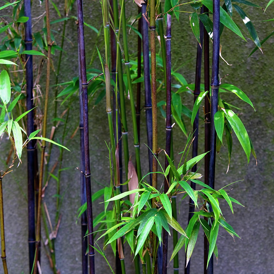 Purple Bamboo And Green Leaves Photograph By Ron Koeberer