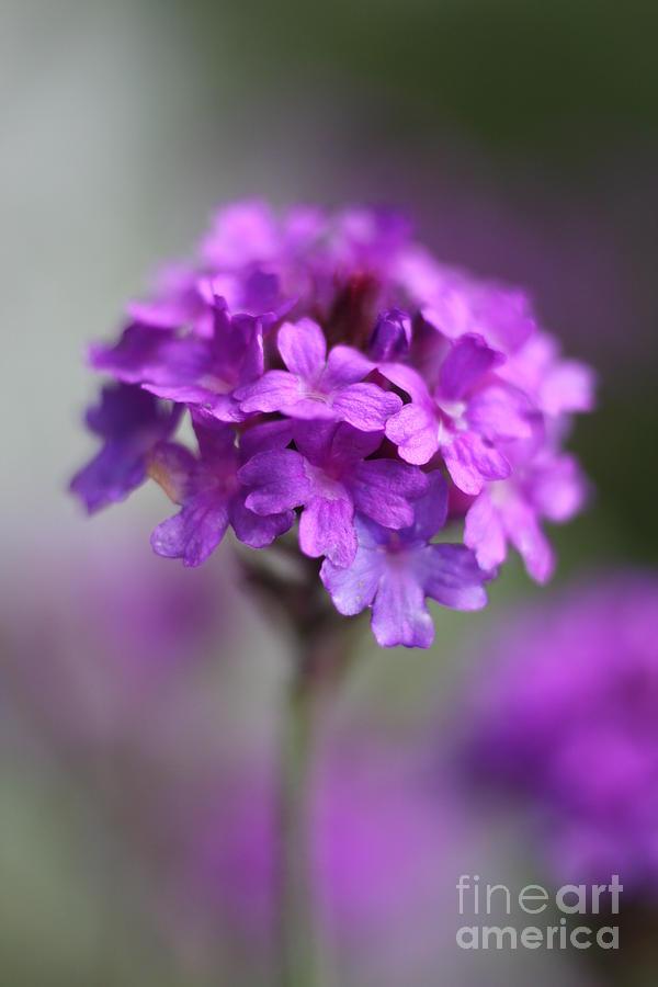 Macro Photograph - Purple Beauty by Wobblymol Davis