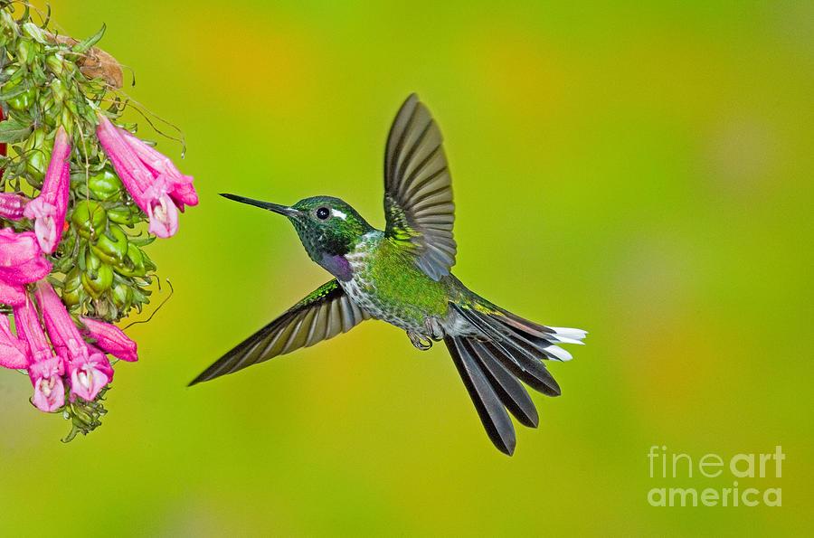 Fauna Photograph - Purple-bibbed Whitetip Hummingbird by Anthony Mercieca