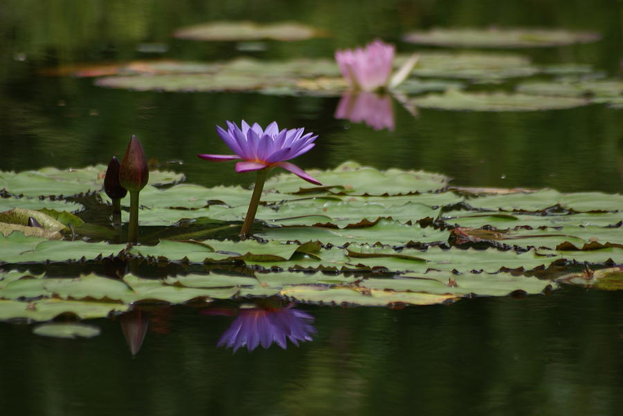 Lily Pads Photograph - Purple Blossoms Floating by Patricia Twardzik