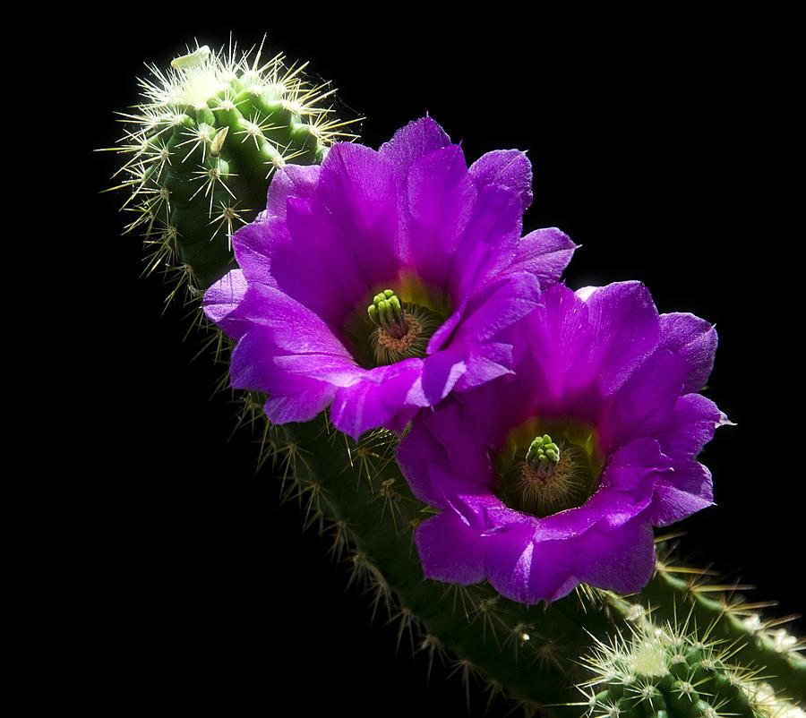 Purple Cactus Flowers Photograph By Saija Lehtonen