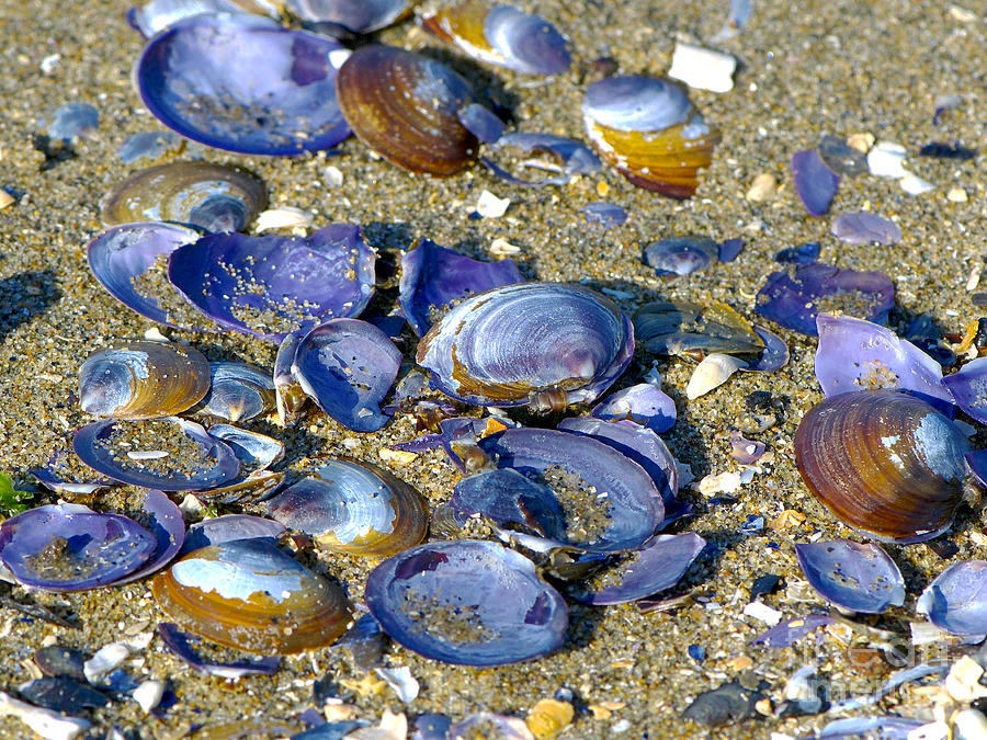 Purple Clam Shells Photograph - Purple Clam Shells On A Beach by Sharon Talson