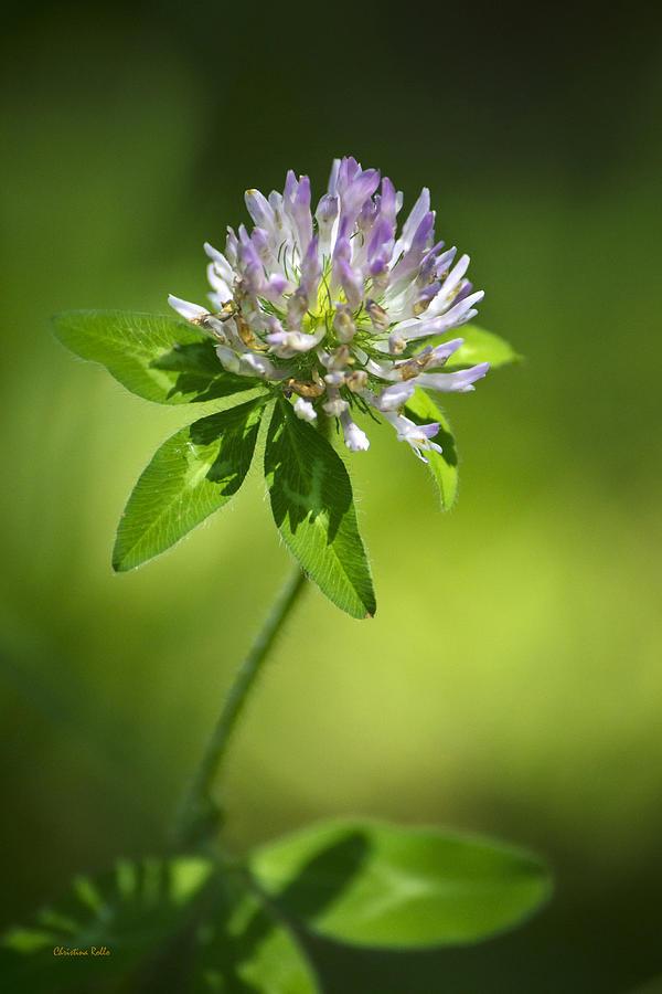 Purple Clover Flower Photograph By Christina Rollo