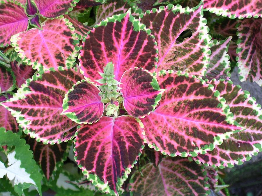 Plant Photograph - Purple Coleus With Seeds by Dusty Reed