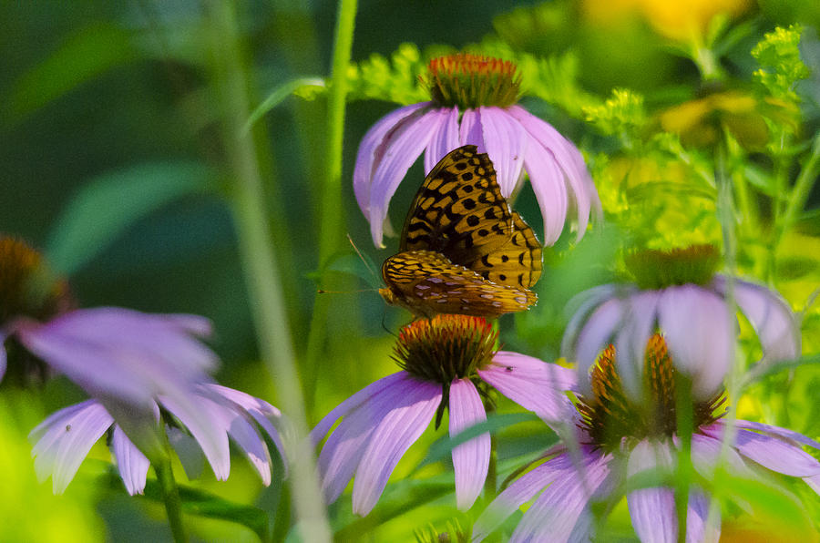 Purple Cone And Butterfly Photograph