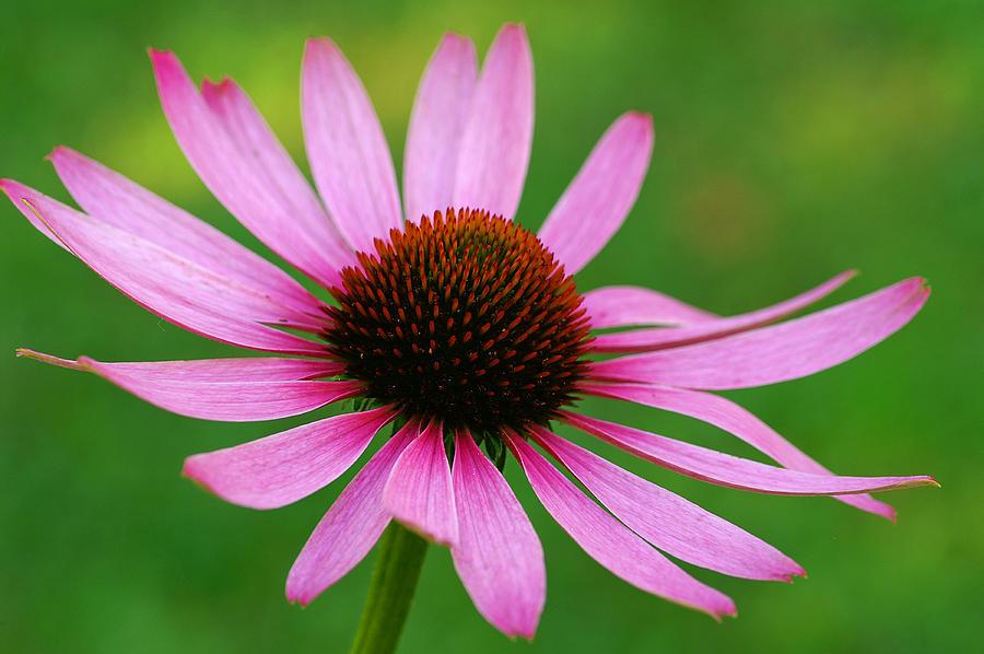 Wildflower Photograph - Purple Cone Flower by Bill Morgenstern