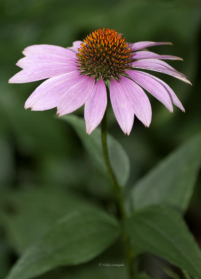 Purple Cone Flower by Vickie Szumigala