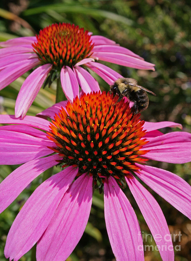 Flower Photograph - Purple Cone Flower With Bee by Kathy DesJardins